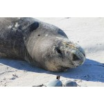 Snapshot: The Leopard Seal