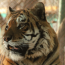 Thinking of Tigers: Wildlife Conservation Courses from ADL