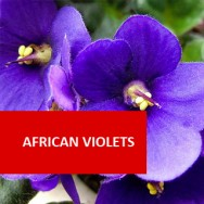 African Violets 100 Hour Certificate Course