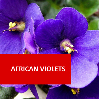 African Violets 100 Hours Course
