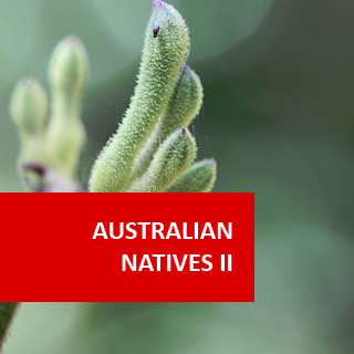 Australian Natives II 100 Hours Certificate Course