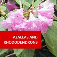 Azaleas & Rhododendrons