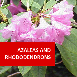 Azaleas & Rhododendrons 100 Hours Course