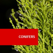 Conifers 100 Hours Certificate Course