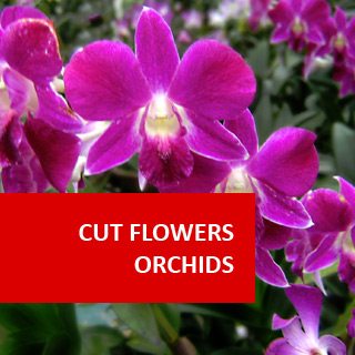 Cut Flower Orchids 100 Hours Certificate Course