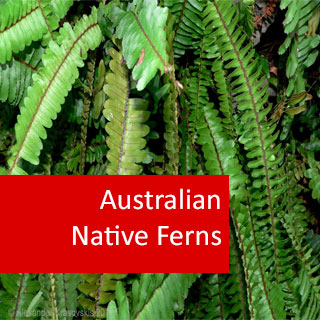 Australian Native Ferns 100 Hours Certificate Course