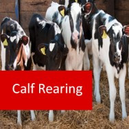 Calf Rearing 100 Hours Certificate Course