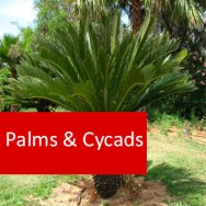 Palms and Cycads 100 Hours Certificate Course