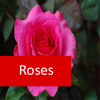 Roses 100 Hours Course