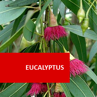 Eucalypts 100 Hours Certificate Course
