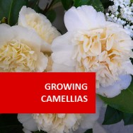 Growing Camellias 100 Hours Course