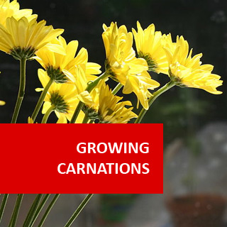Growing Carnations 100 Hours Course