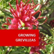 Growing Grevilleas