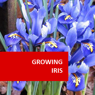 Growing Iris 100 Hours Course