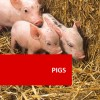 Pigs 100 Hours Certificate Course