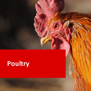 Poultry 100 Hours Certificate Course