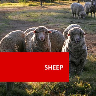 Sheep 100 Hours Certificate Course