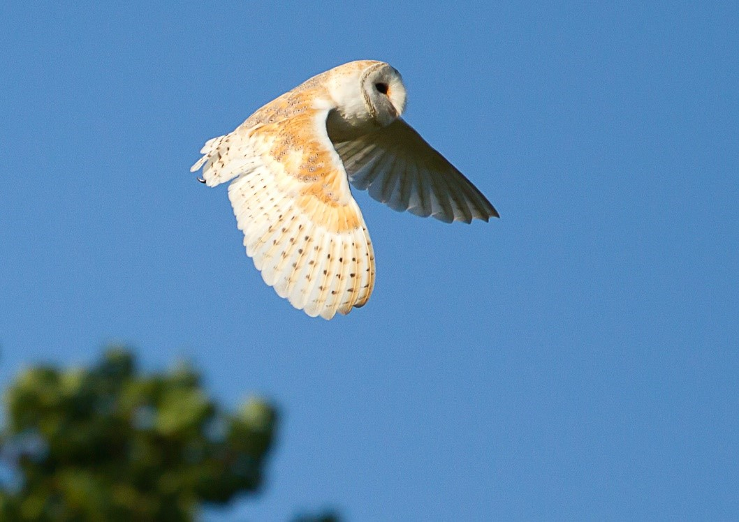 A barn owl is in mid flight with a clear blue sky behind it