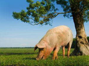 large pig grazing in open field