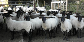 sheep with black faces going into their pens