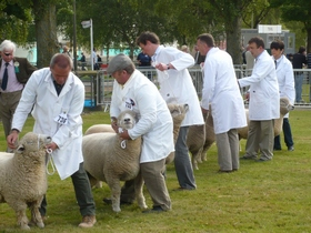 sheep lining up to be inspected for sheep trials