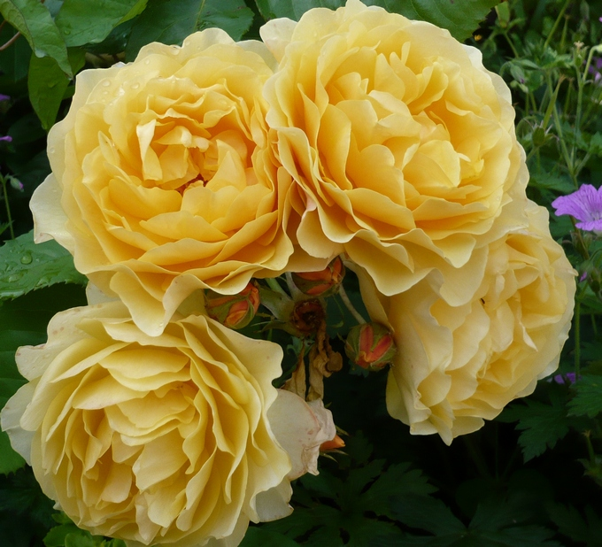 Bunces of yellow roses