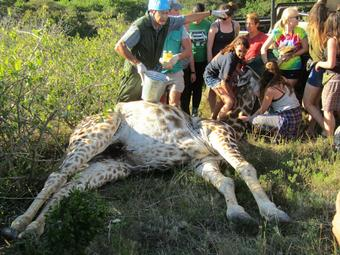 group of people around a girafe receiving treatment on the ground