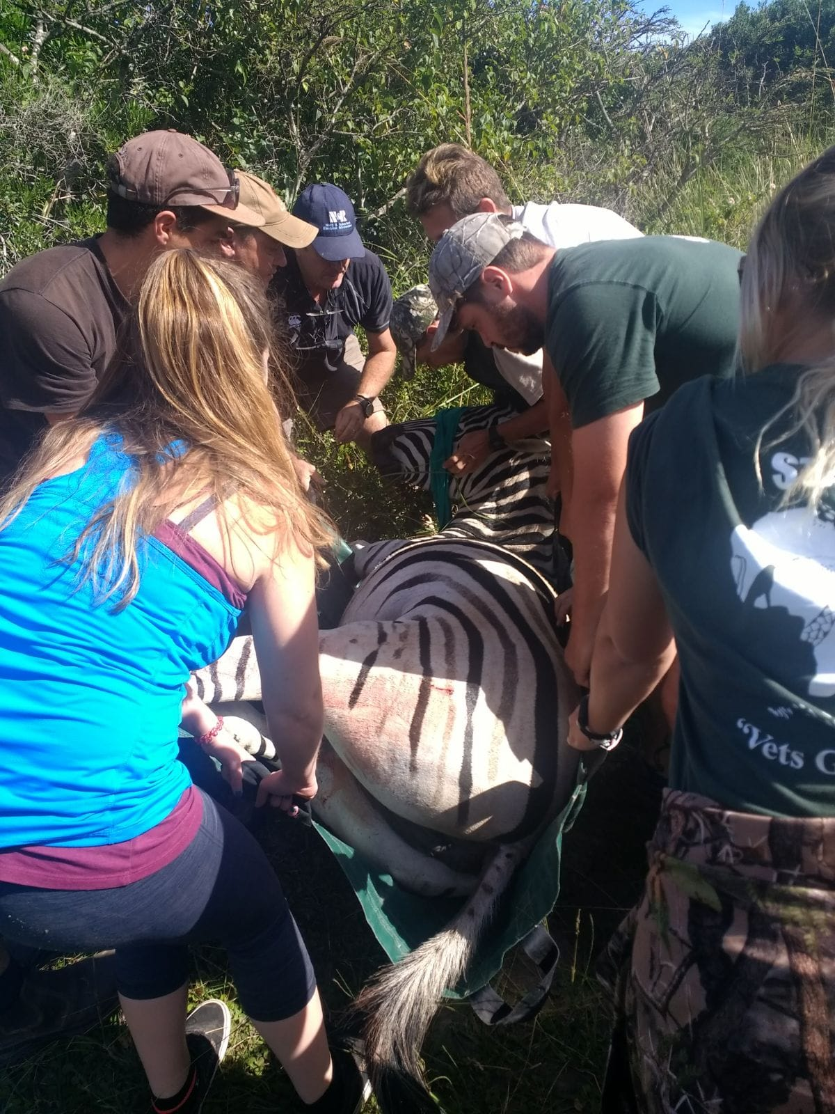 A number of people helping to lift a tranquilised zebra