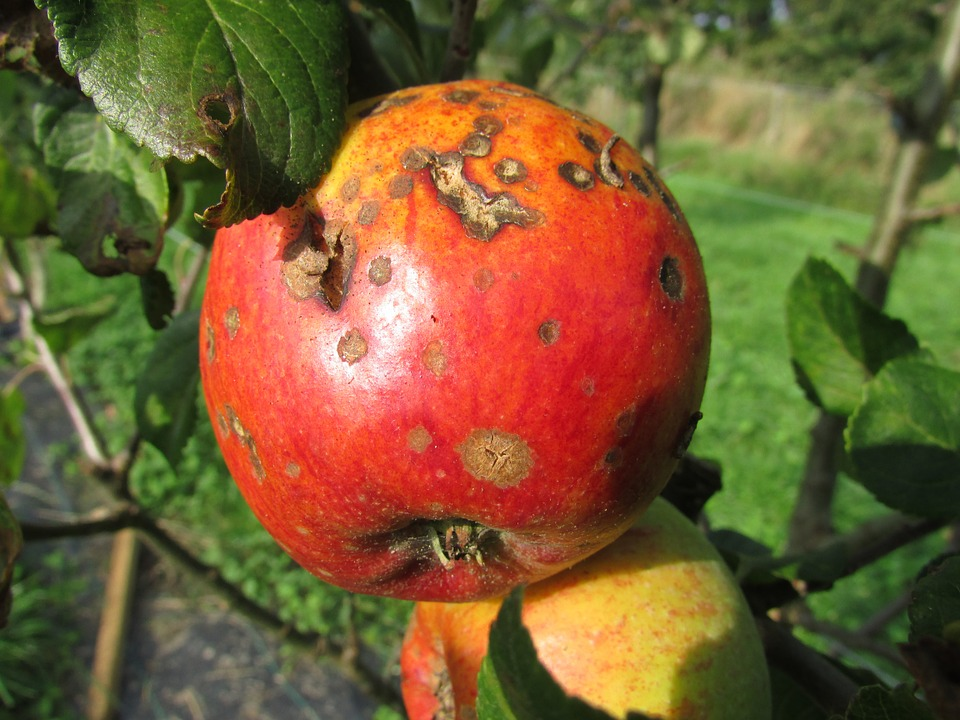 apple with apple blight