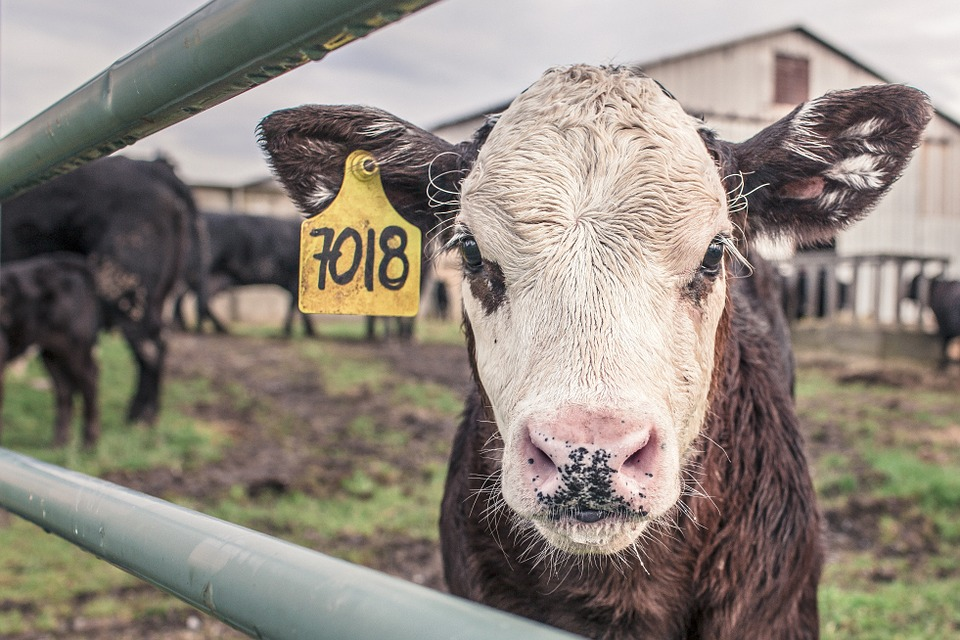 A cow is in a pen with a yellow tag in its ear
