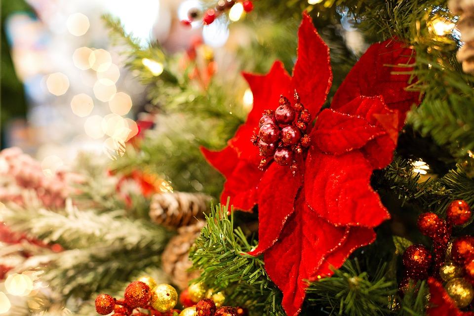 ponsietta on a christmas tree
