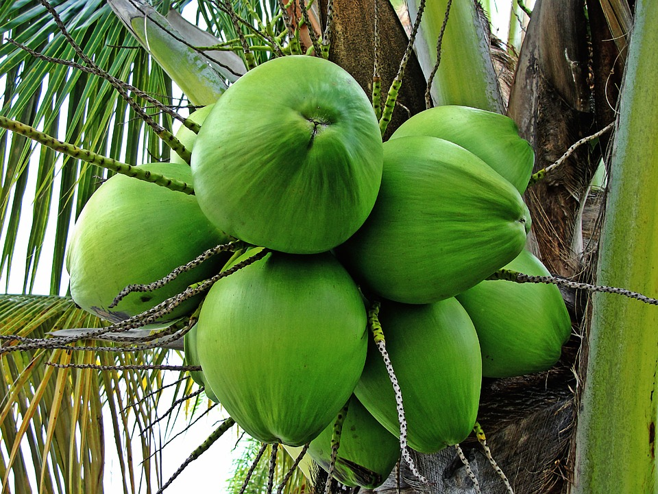 unripe coconuts hanging from a coconut tree