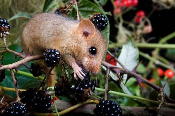 door mouse with blackberries