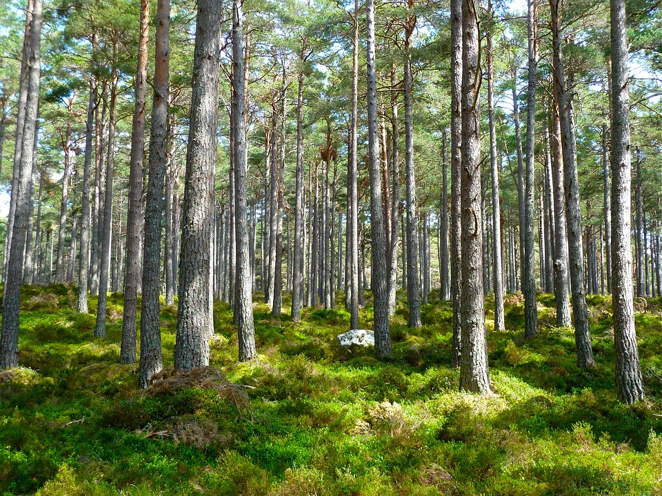 A well lit forest with lots of thin trees