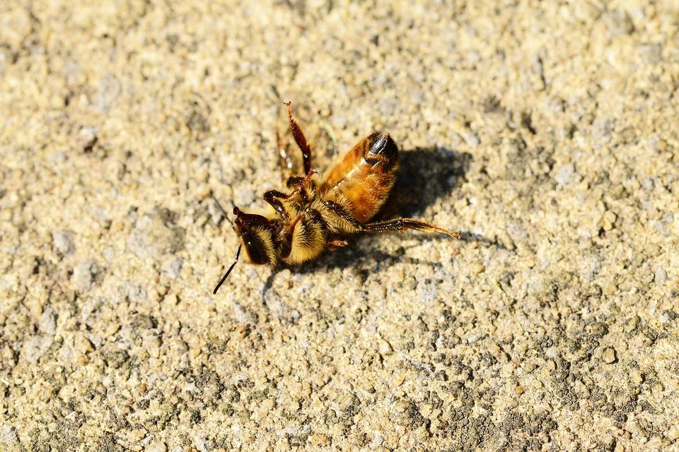 dying honey bee