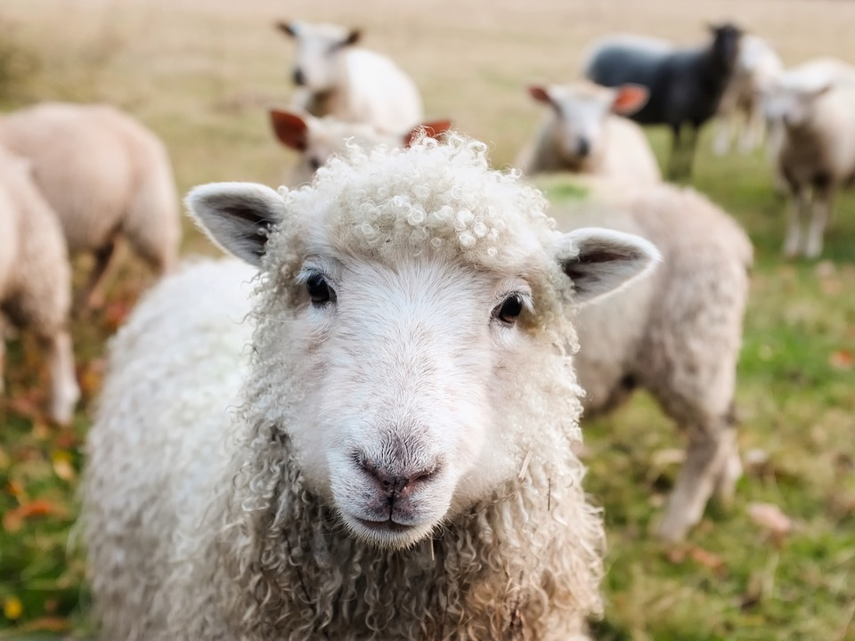 A sheep is looking directly at the camera with other sheep of varying colours in the background