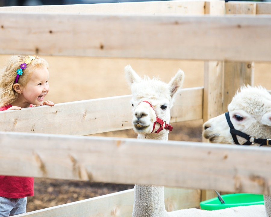 A child is looking happy to see a pair of Llamas at a petting zoo