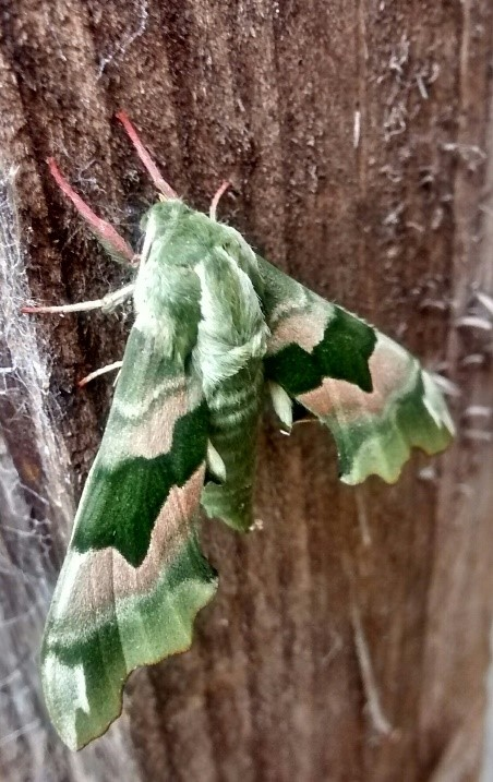 green moth on wooden fance