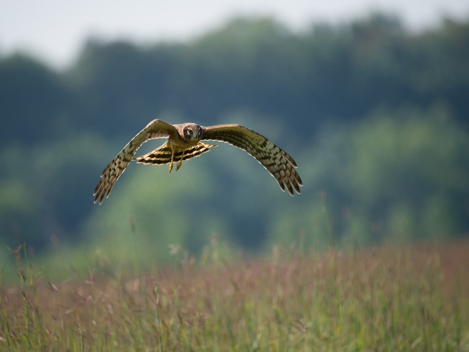 northern harrier flying