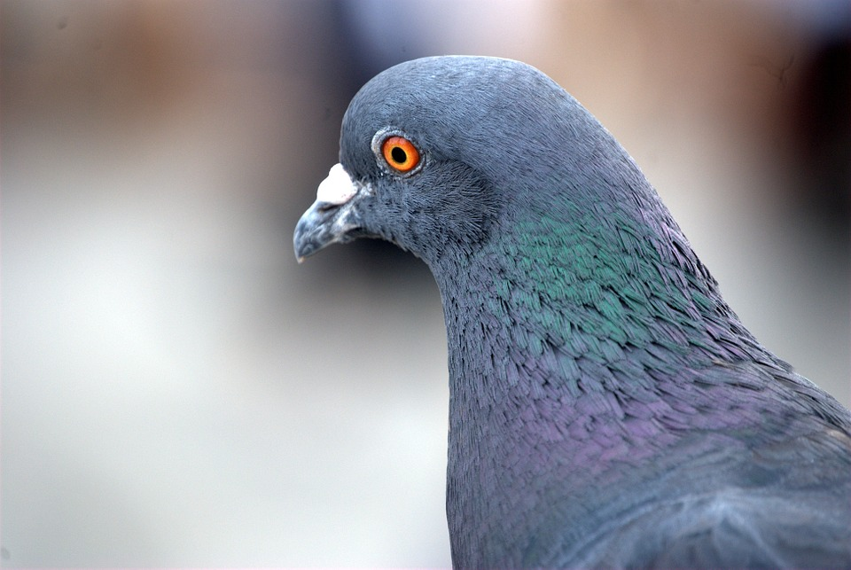 pigeon focused against a blurry background