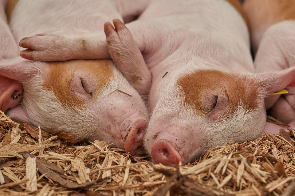 2 pink piglets cuddling and sleeping peacefully on hay