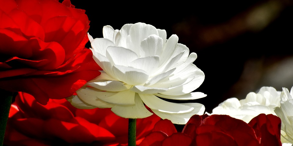 ranunculus in red and in white