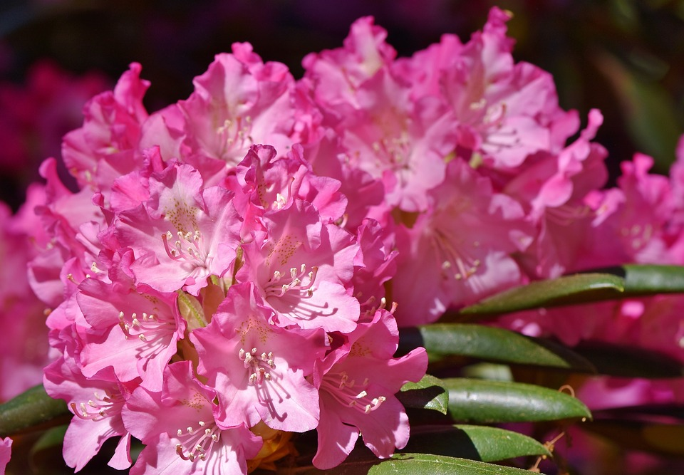 rhododendron up close - a pretty flower but deadly for the environment