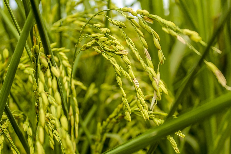 unripened rice plant