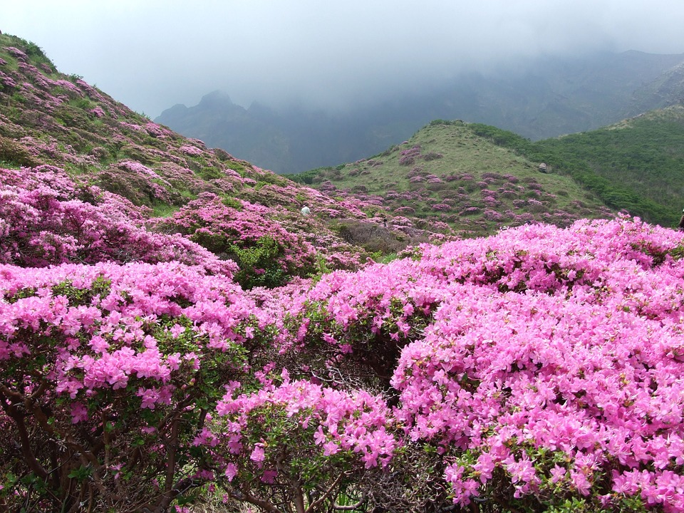 rhododendrn covering a hillside, a typical area that the plant invades