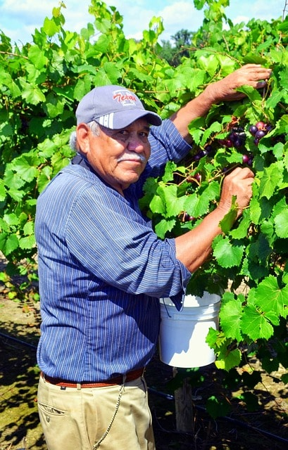 Older man in a cap picking grapes from the vine