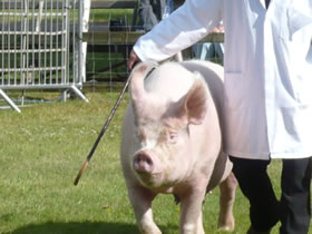 pig being walked across showground by owner