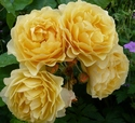 Bunch or yellow roses