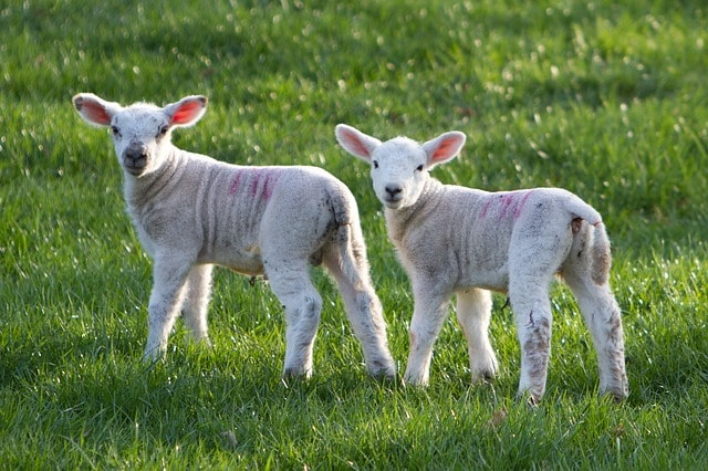 Two cute little lambs standing together and looking at the camera
