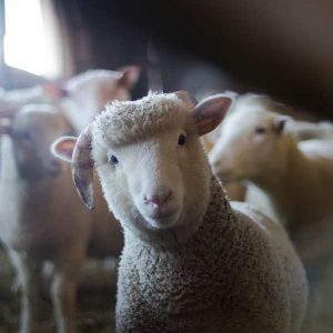 Sheep 100 Hours Certificate Course - ADL - Academy for Distance Learning